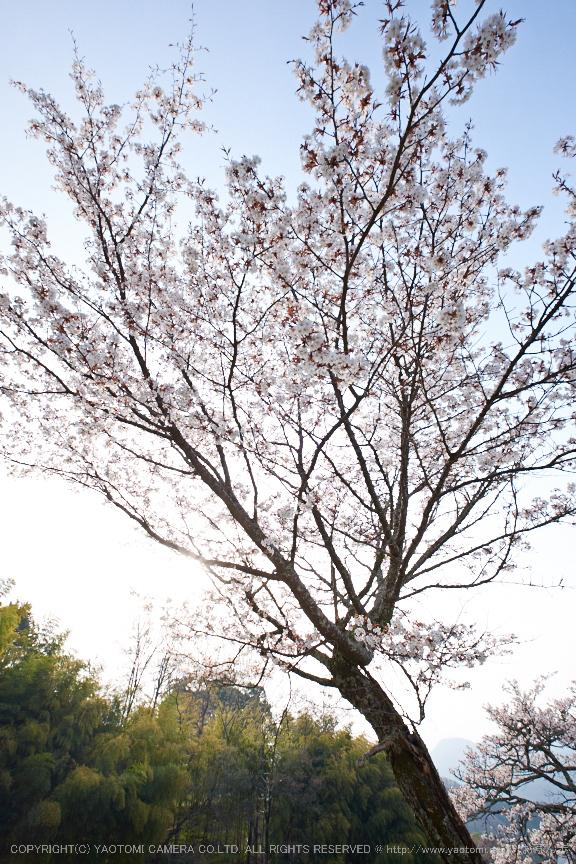 三多気・桜(DSCF0539,F7.1,10mm)2014yaotomi_.jpg