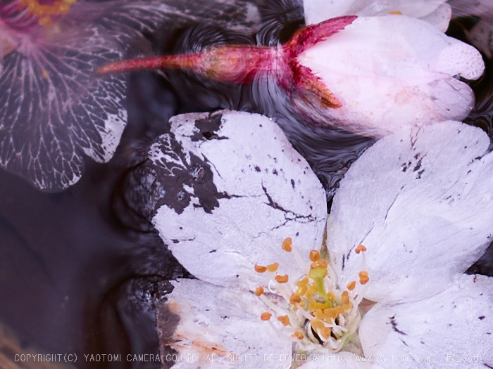 世尊寺,桜_CF015048,2017yaotomi 1.jpg