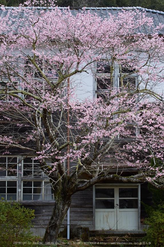 丹生小学校,桜(K32_7681,78 mm,F5.6)2016yaotomi.jpg