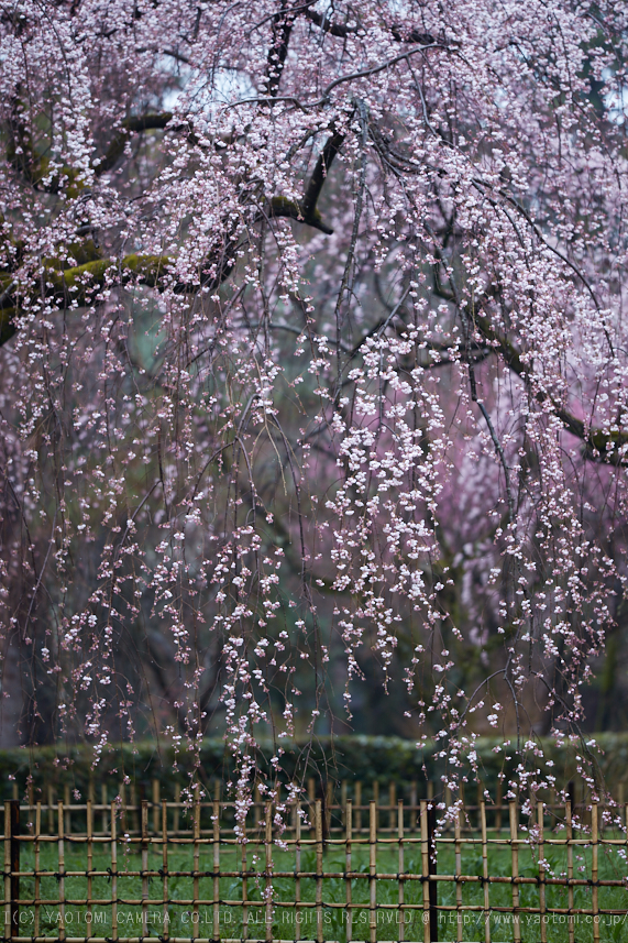 京都御苑,近衛邸跡の桜_IMG_7540,2017yaotomi.jpg