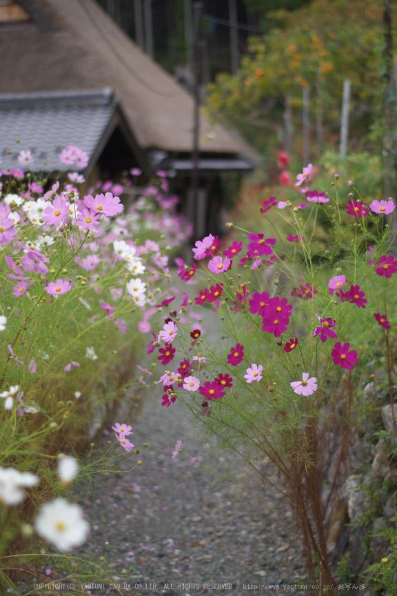 京都美山,かやぶきの里,コスモス(IMGP1049,50mm,F2,KS1)2014yaotomi_.jpg