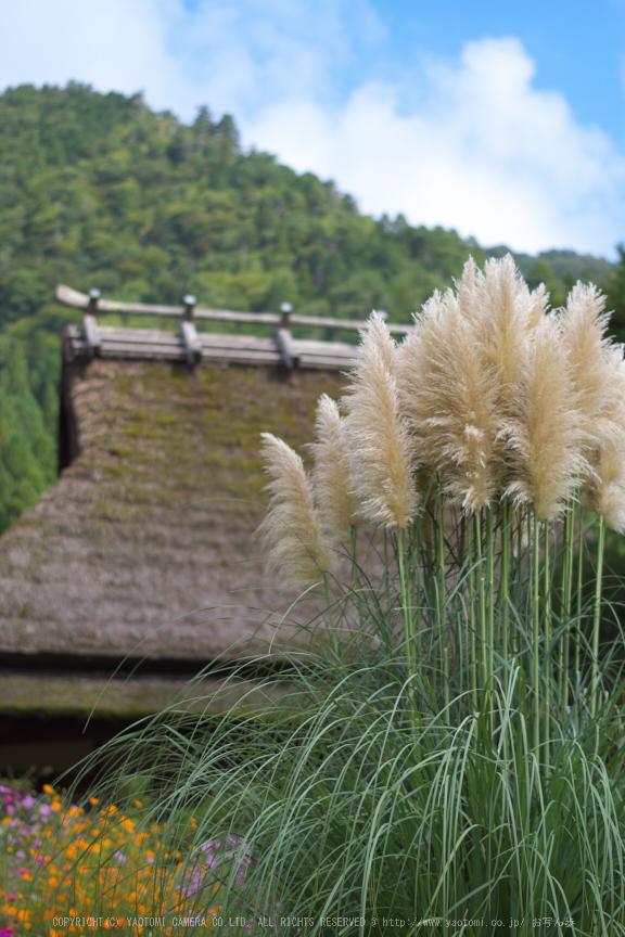 京都美山,かやぶきの里,コスモス(IMGP1166,50mm,F2.2,KS1)2014yaotomi_.jpg