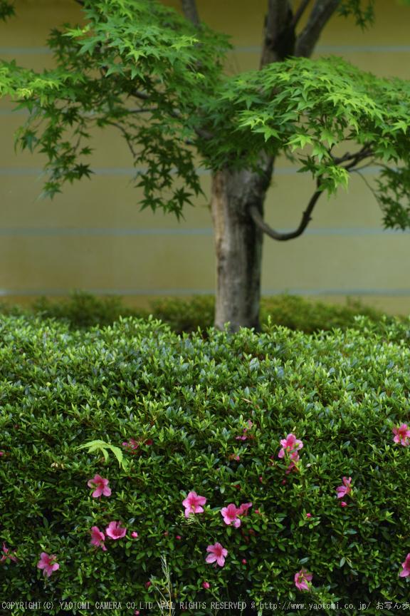 光明寺・新緑(SDIM0651,F--)2014yaotomi_.jpg