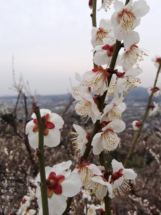 南部梅林2012_八百富写真機店お写ん歩_TG-820_29.jpg