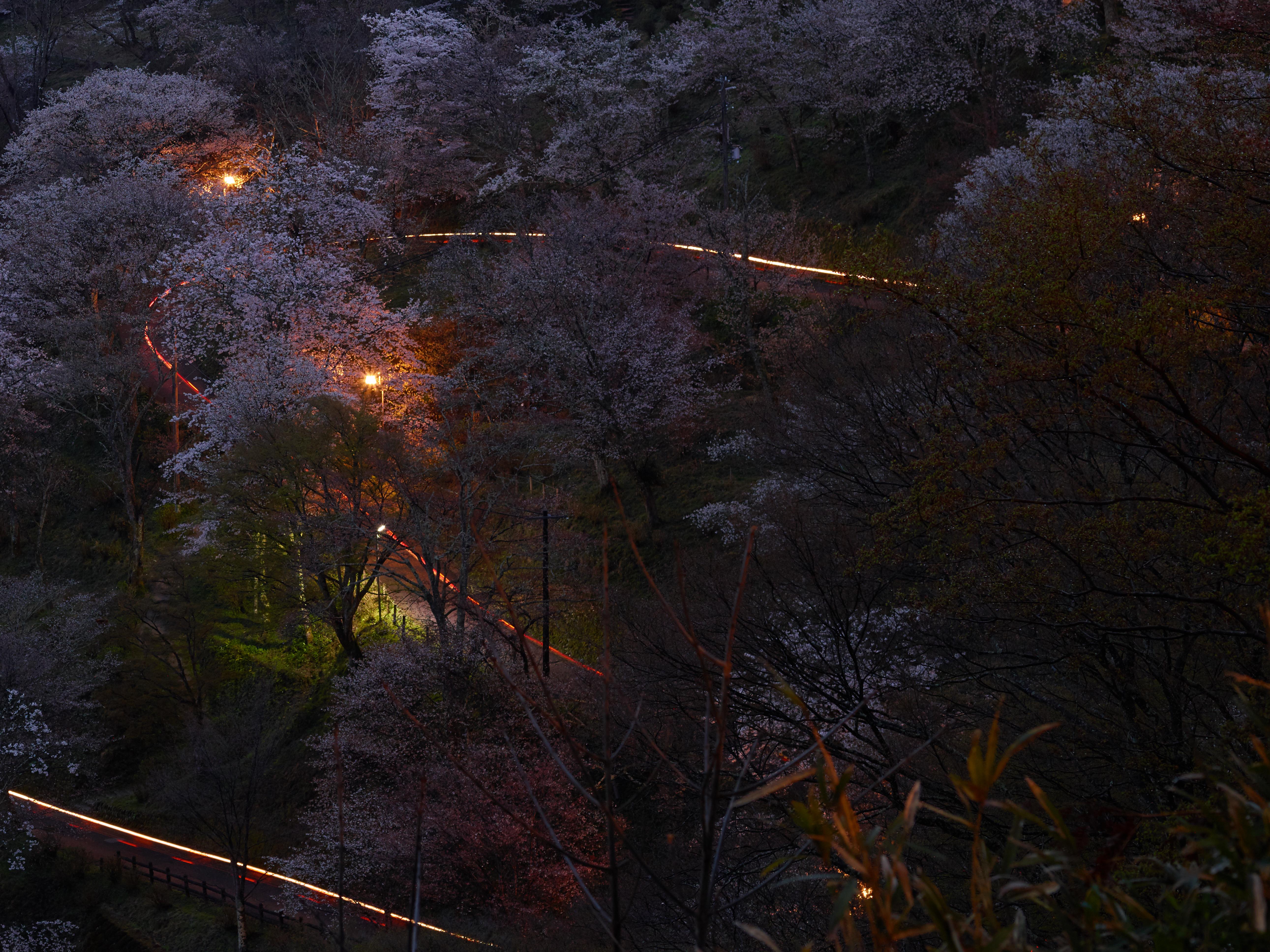 http://www.yaotomi.co.jp/blog/walk/%E5%90%89%E9%87%8E%E5%B1%B1%2C%E6%A1%9C%2CCF014948%2C2017yaotomi%203.jpg