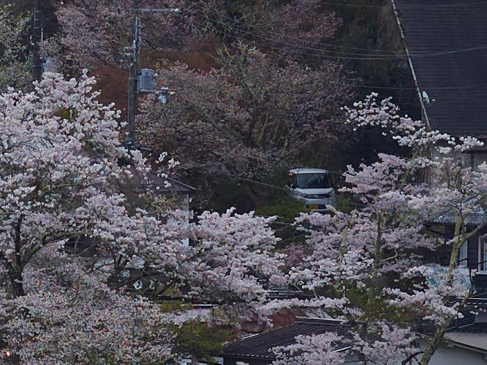 吉野山,桜,CF014968,2017yaotomi.jpg