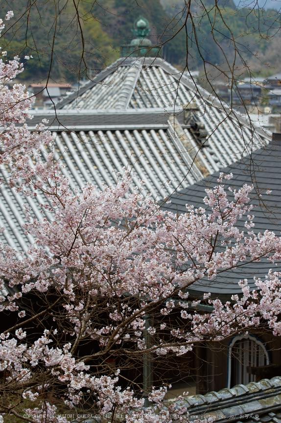 吉野本善寺,桜(K32_7244,70 mm,F4,iso100)2016yaotomi.jpg
