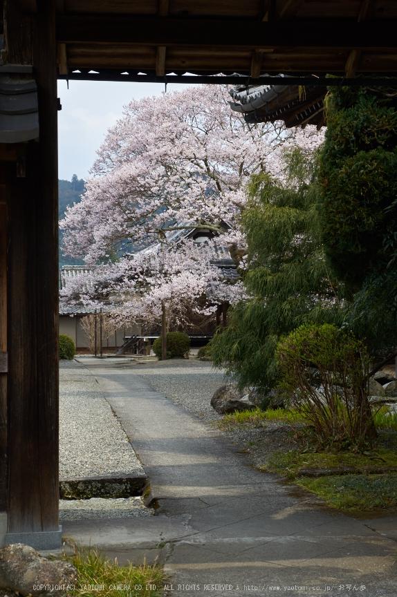吉野本善寺,桜(K32_7288,48 mm,F8,iso100)2016yaotomi.jpg