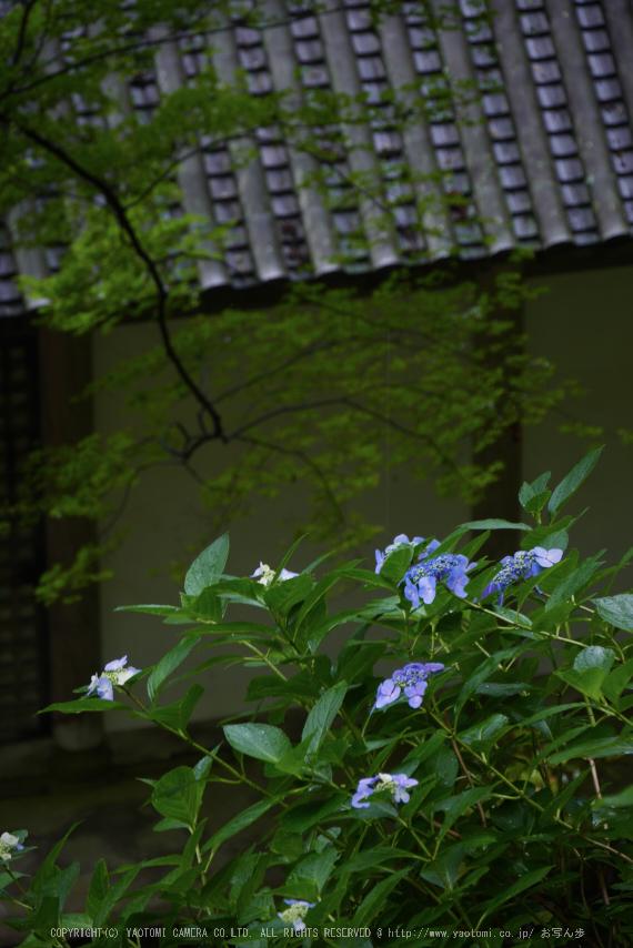 奈良,長谷寺,紫陽花(P1010287,97 mm,F6.3)2015yaotomi_.jpg