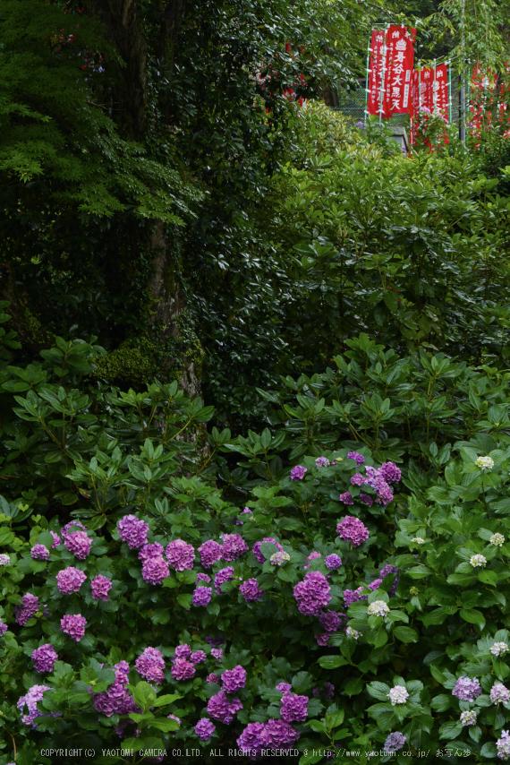 奈良,長谷寺,紫陽花(P1010337,46 mm,F6.3)2015yaotomi_.jpg