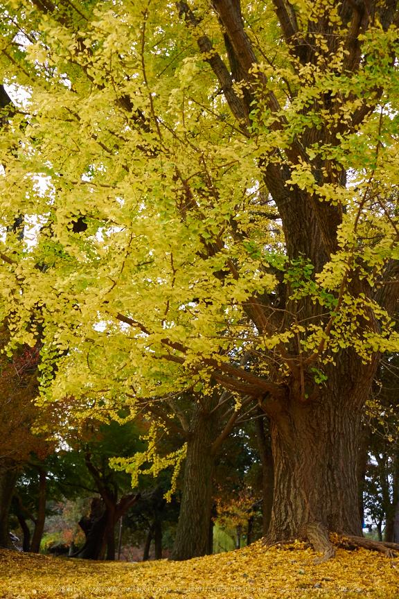 奈良公園,東大寺,紅葉(PB250159,26 mm,F3.2,iso200)2015yaotomi_.jpg