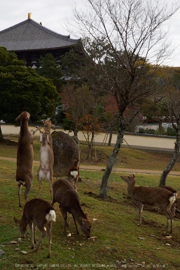 奈良公園,東大寺,紅葉(PB250179,28 mm,F4.5,iso200)2015yaotomi.jpg