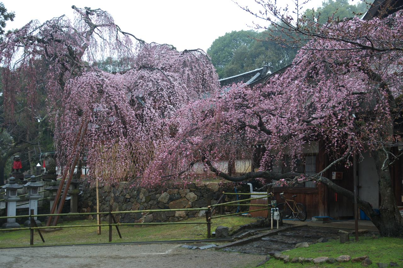 http://www.yaotomi.co.jp/blog/walk/%E5%A5%88%E8%89%AF%E6%A1%9C%2C2014%E8%BF%91%E6%B3%81%2CPK3_7786%28F4%2C0%29_2014yaotomi_.jpg