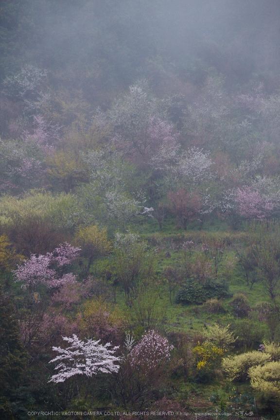 奈良西吉野,桜(IMG_7990,221 mm,F7.1_5DII)2015yaotomi.jpg