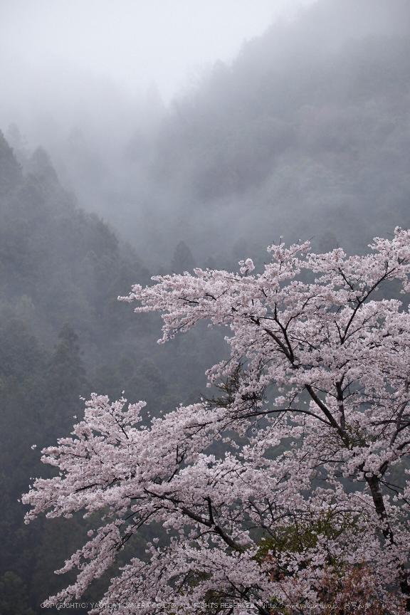 奈良西吉野,桜(IMG_8019,163 mm,F7.1_5DII)2015yaotomi.jpg