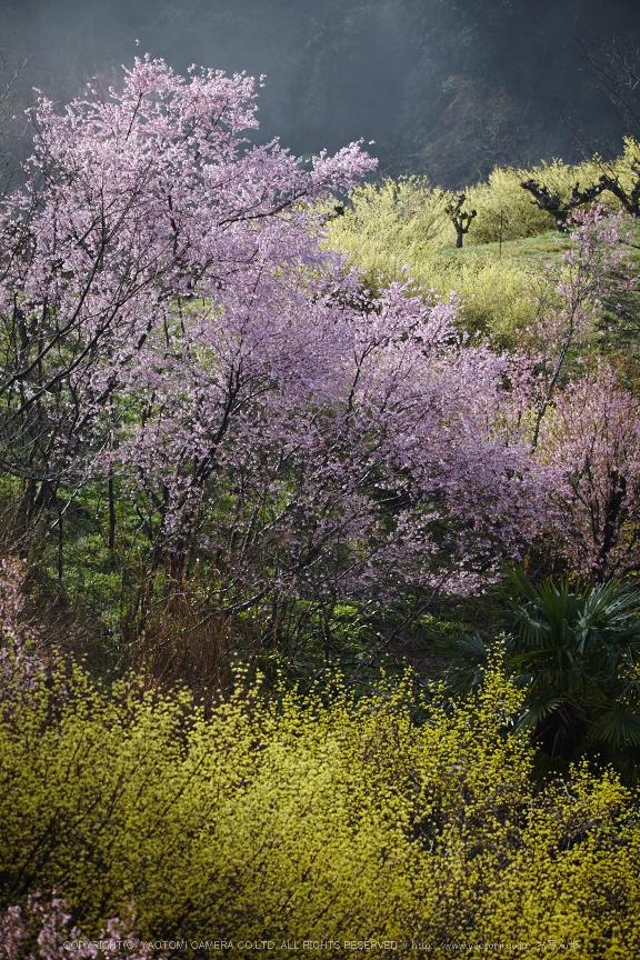 奈良西吉野,桜(IMG_8096,150 mm,F5.6_5DII)2015yaotomi.jpg