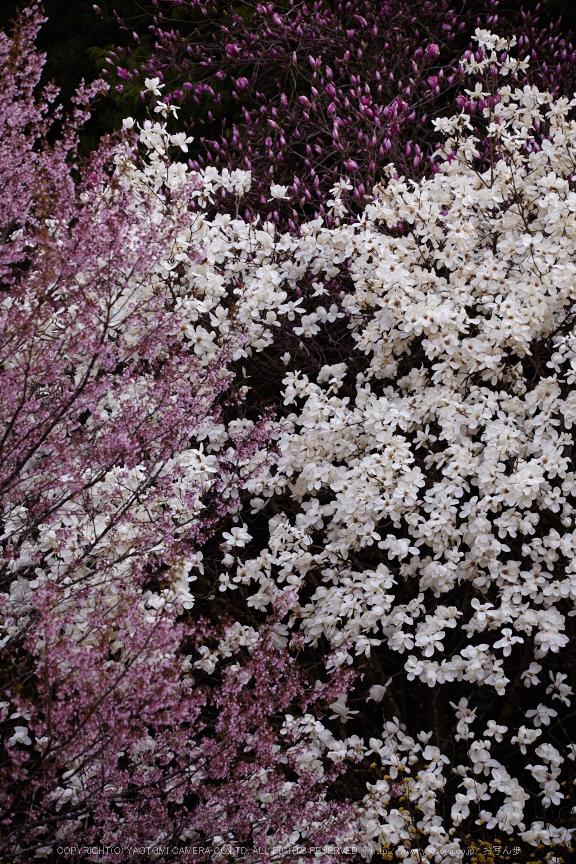 奈良西吉野,桜(IMG_8116,196 mm,F5.6_5DII)2015yaotomi.jpg