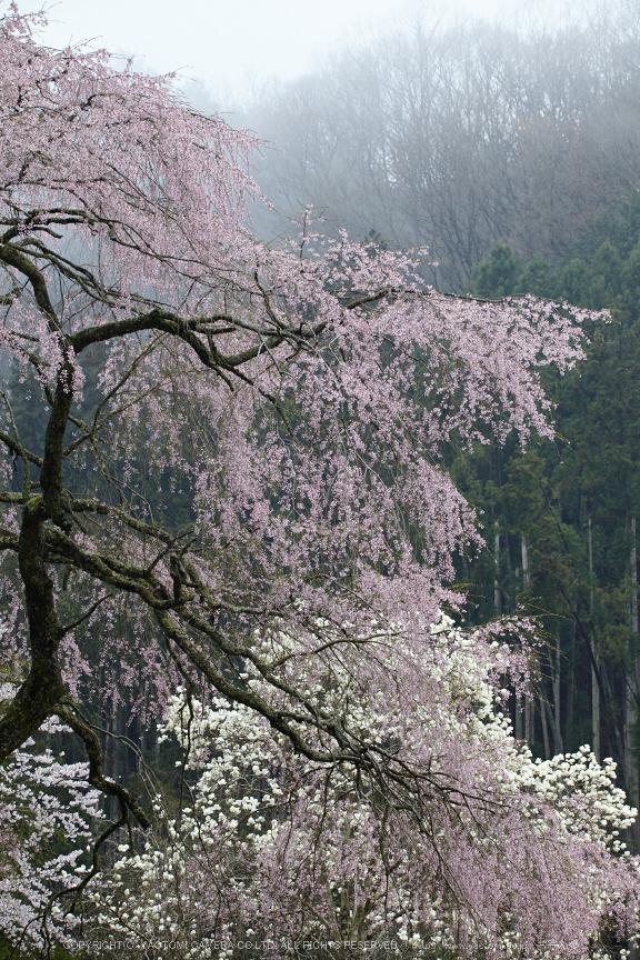 奈良西吉野,桜(IMG_8195,150 mm,F8_5DII)2015yaotomi.jpg