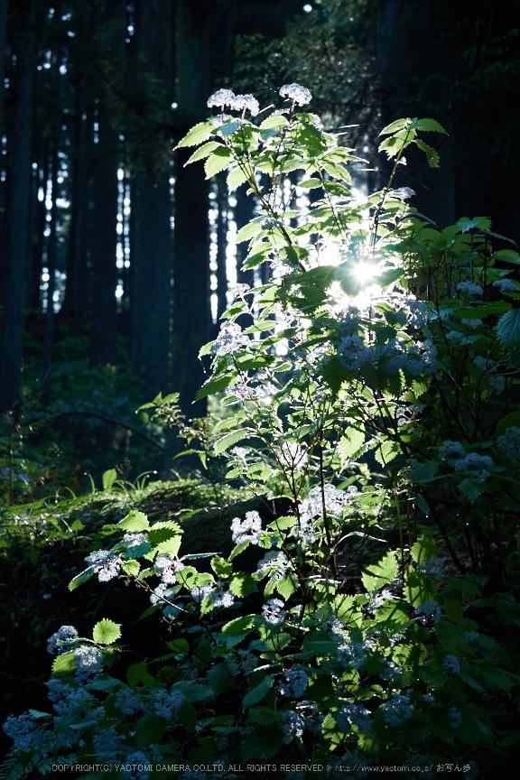 宇陀,小紫陽花(_6100354,40 mm,F5.6)2015yaotomi_.jpg