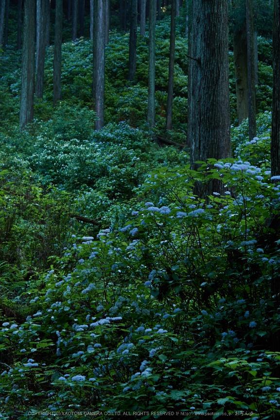宇陀,小紫陽花(_6100447,45 mm,F8)2015yaotomi_.jpg