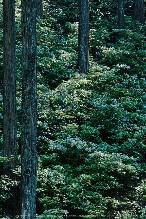 宇陀,小紫陽花(_6100540,115 mm,F4.5)2015yaotomi_.jpg