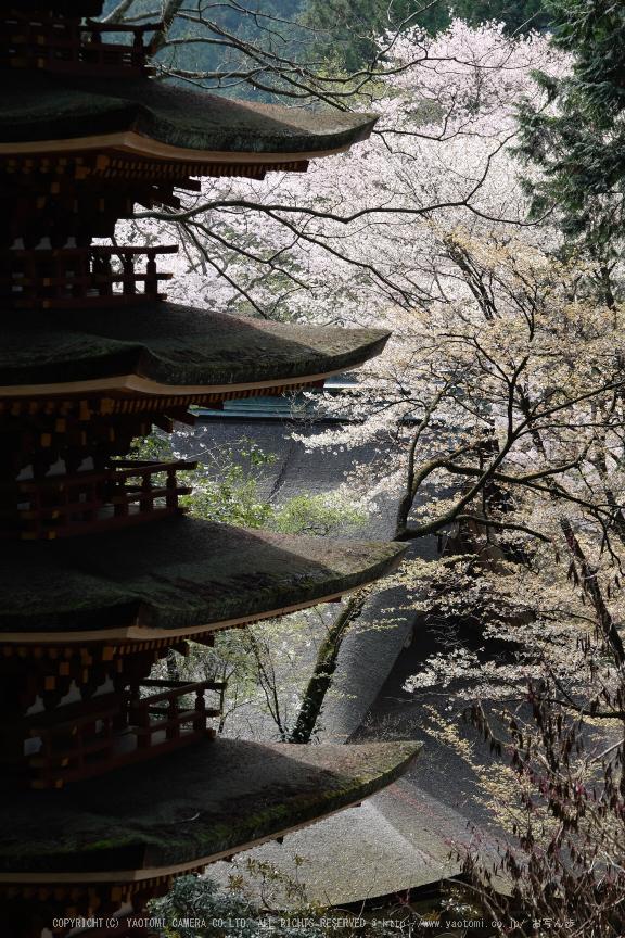 室生寺,桜(DSCF0383,98 mm,F8,iso200)2016yaotomi_.jpg
