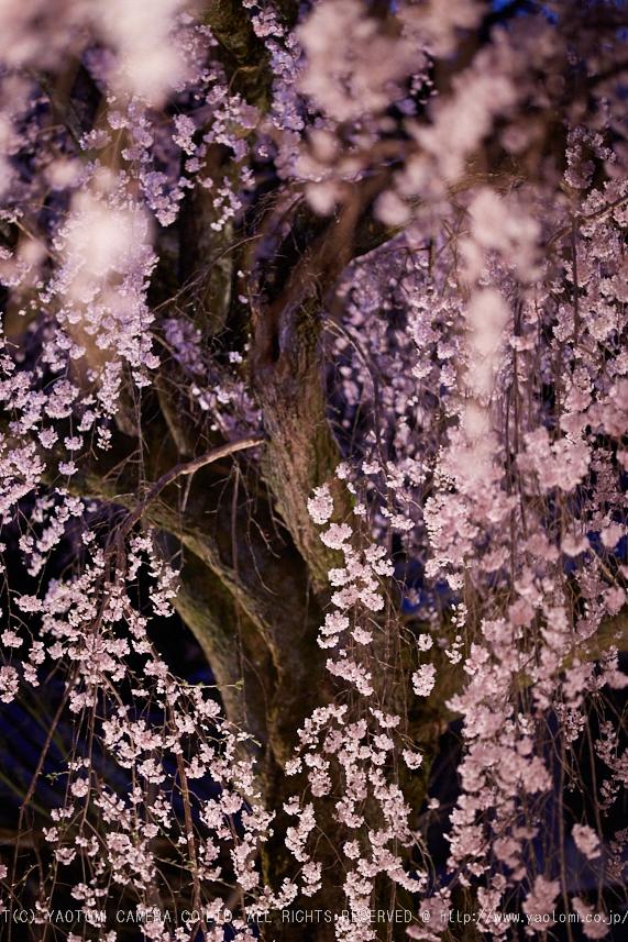 専称寺,桜_IMG_8329,2017yaotomi.jpg