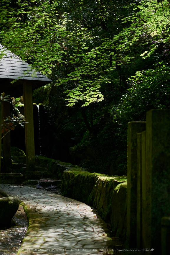 岡寺,シャガ,石楠花(P9710551,43 mm,F1.7,DMC-GM5)2015yaotomi.jpg