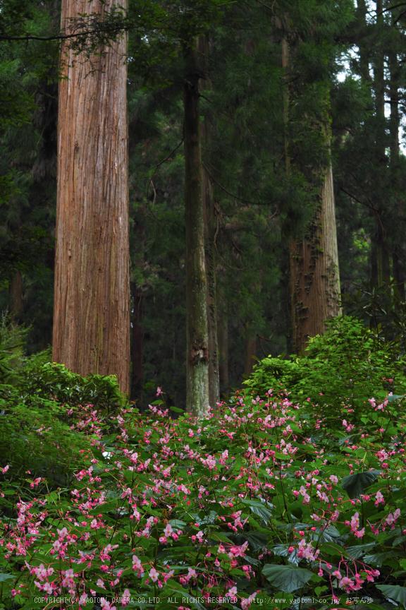 岩湧寺,秋海棠(P9030239,45 mm,F6.3,iso200)2015yaotomi_ 1.jpg