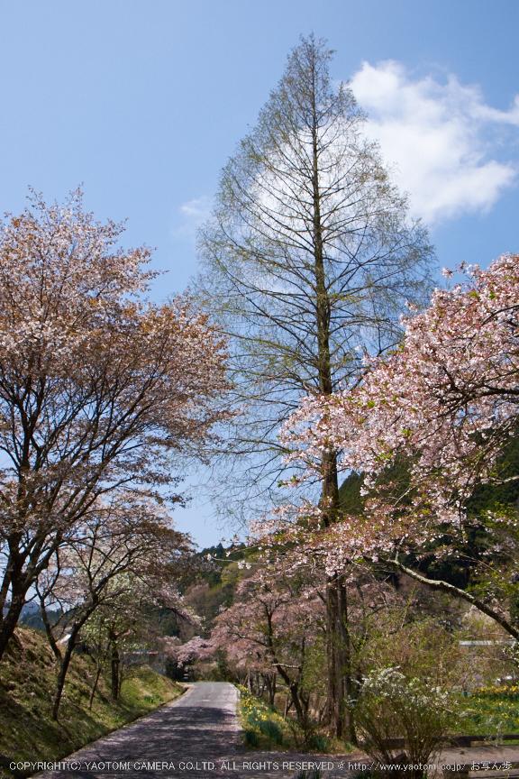 岩端・桜(DSCF5367,F7.1,18mm)2014yaotomi_ (1) .jpg