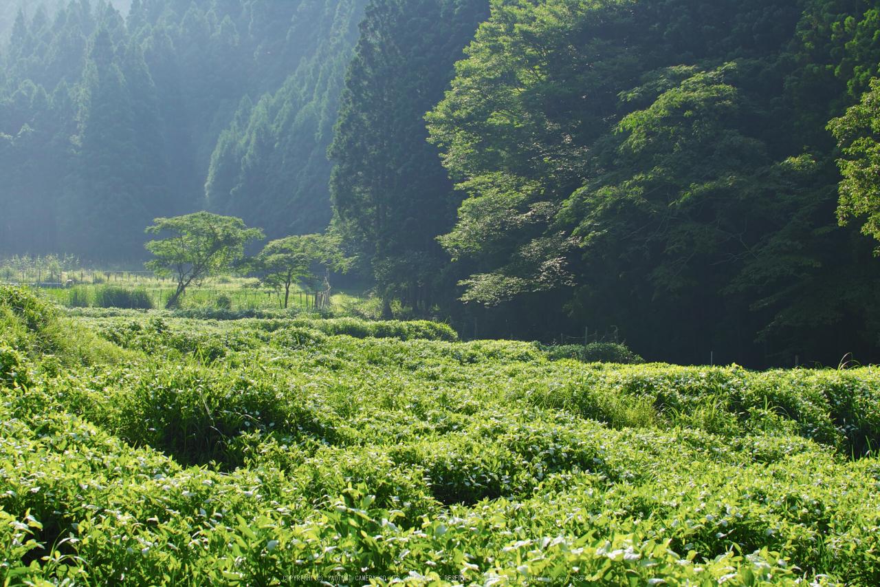 http://www.yaotomi.co.jp/blog/walk/%E5%BE%A1%E6%9D%96%2C%E5%8D%8A%E5%A4%8F%E7%94%9F%28SDQ_0492%2C50%20mm%2CF8%2Ciso100%292016yaotomi_.jpg