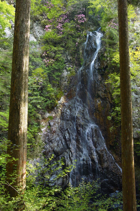 御船の滝,石楠花(SDIM0369,23mm,F14)2014yaotomi_.jpg