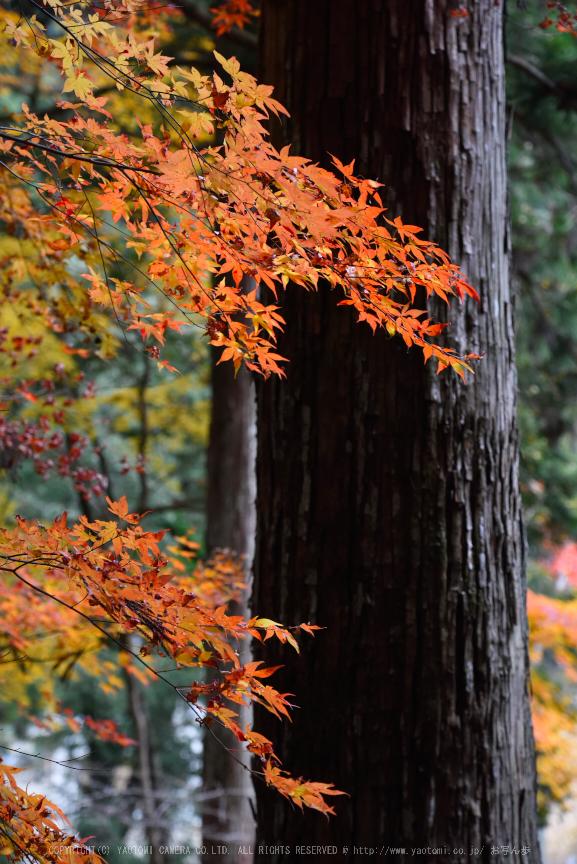 投石の滝,紅葉(DSC_1372,120mm,F6.3,D750)2014yaotomi.jpg