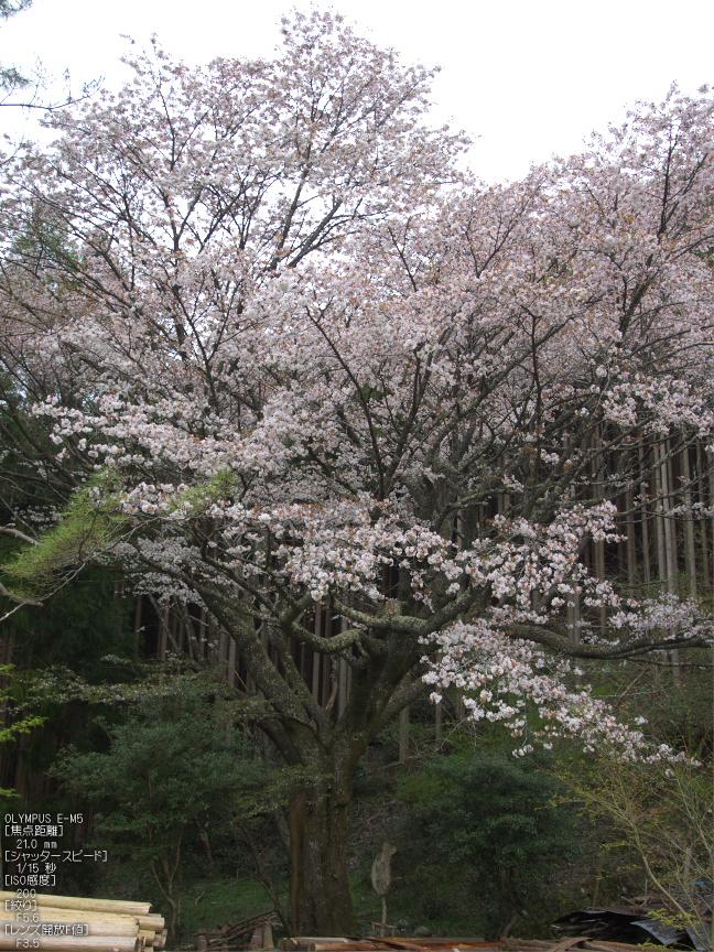 月桜_2012_OLYMPUS_E-M5_22.jpg