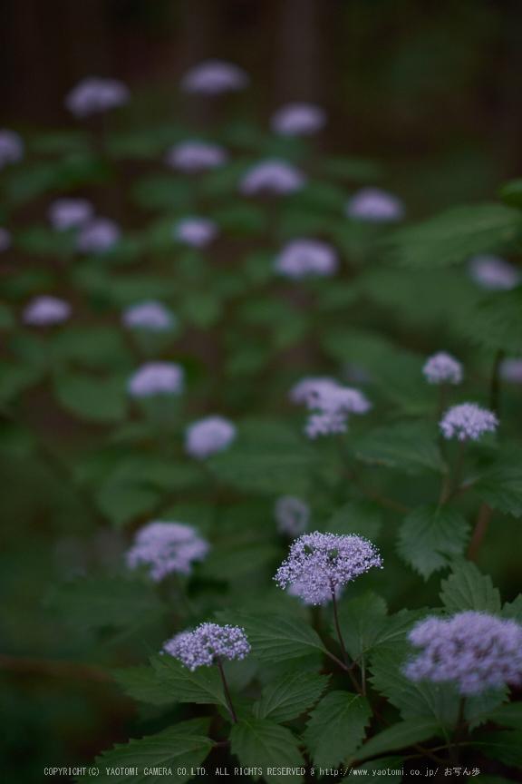 東吉野,6月(DSCF6251,35mm,F1.6)2014yaotomi_.jpg