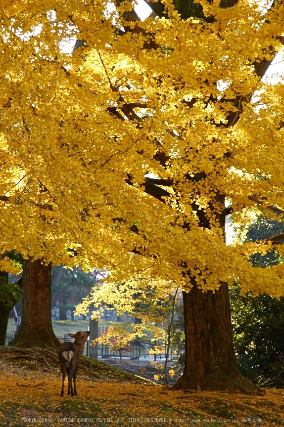 東大寺・紅葉(PK3_0423,85mm,F8,K3)2014yaotomi_.jpg