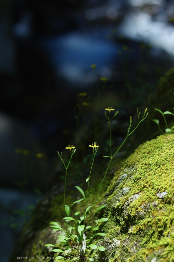桑ノ木の滝,新緑(K32_0468,55 mm,F2.2)2015yaotomi.jpg