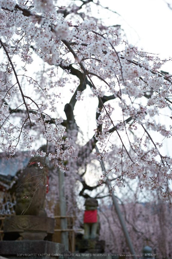 氷室神社,桜(PK3_0943,35 mm,2,K3)2015yaotomi.jpg