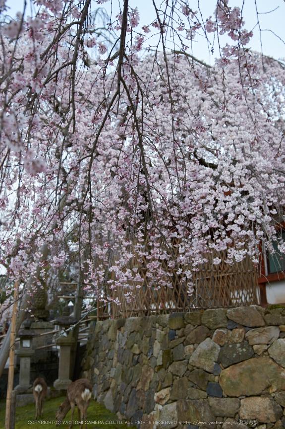氷室神社,桜(PK3_0995,23 mm,2.2,K3)2015yaotomi.jpg