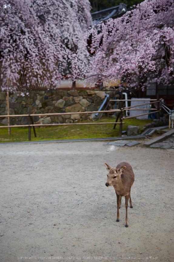氷室神社,桜(PK3_1007,29 mm,2,K3)2015yaotomi.jpg
