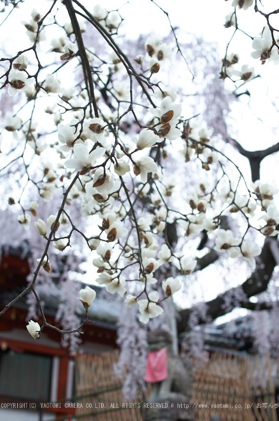 氷室神社,桜(PK3_7992,F2.2,30mm)2014yaotomi_.jpg