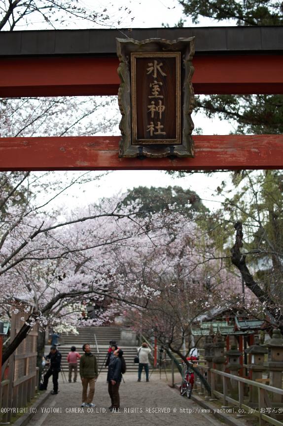 氷室神社,桜(PK3_7998,F1.6,30mm)2014yaotomi_.jpg