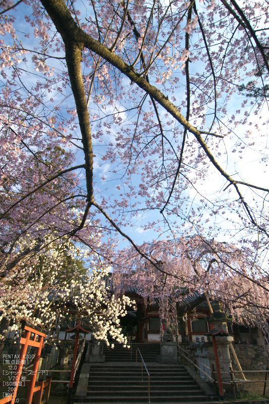 氷室神社_しだれ桜_2012_yaotomi_12a.jpg