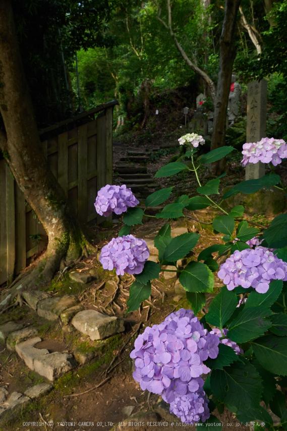 矢田寺,紫陽花(PEM10383,14 mm,F8)2015yaotomi_.jpg