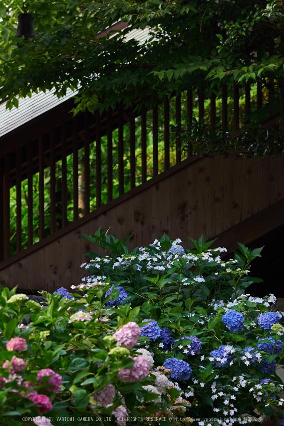 矢田寺,紫陽花(PEM10434,150 mm,F3.5)2015yaotomi_.jpg