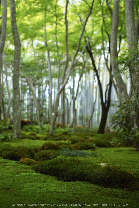祇王寺,新緑(SDIM0441,35mm,F2)2014yaotomi_.jpg
