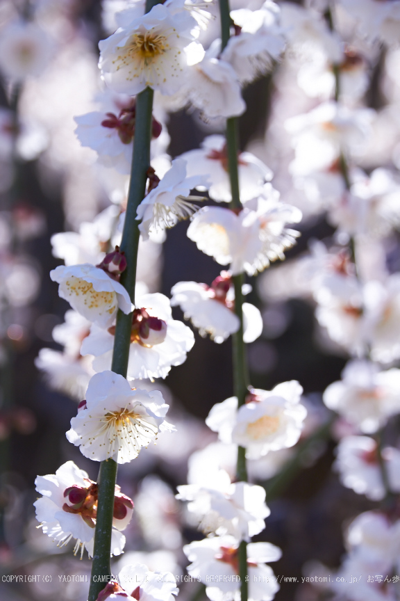 結城神社,梅,SIGMA18_200,(IMG_0502,75mm,F6.3)2014yaotomi_.jpg