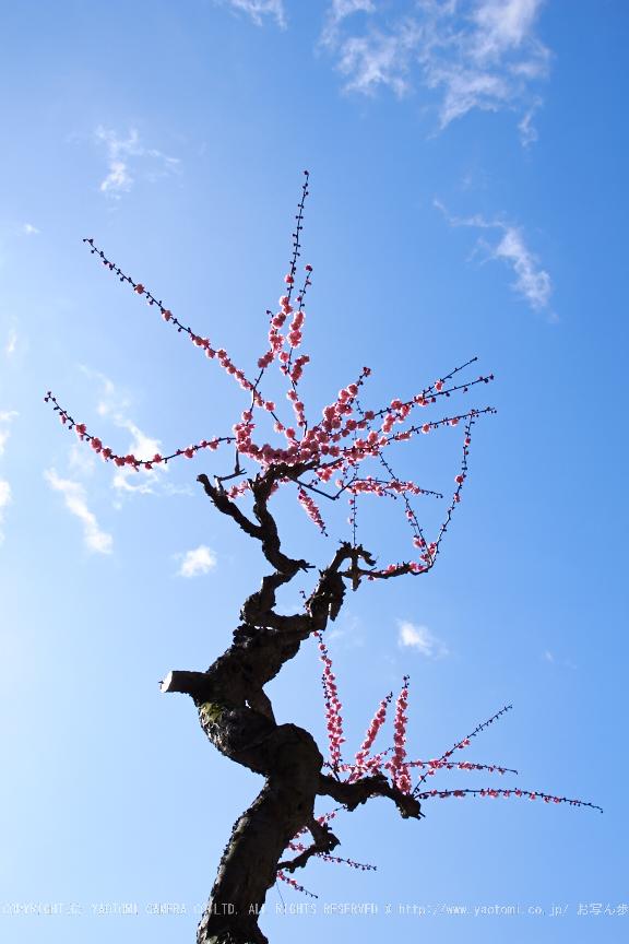 結城神社,梅,SIGMA18_200,(IMG_0657,24mm,F10)2014yaotomi_.jpg