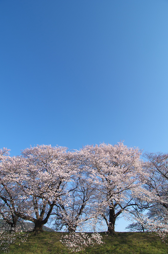 http://www.yaotomi.co.jp/blog/walk/%E8%83%8C%E5%89%B2%E5%A0%A4_%E6%A1%9C_2013yaotomi_60s.jpg