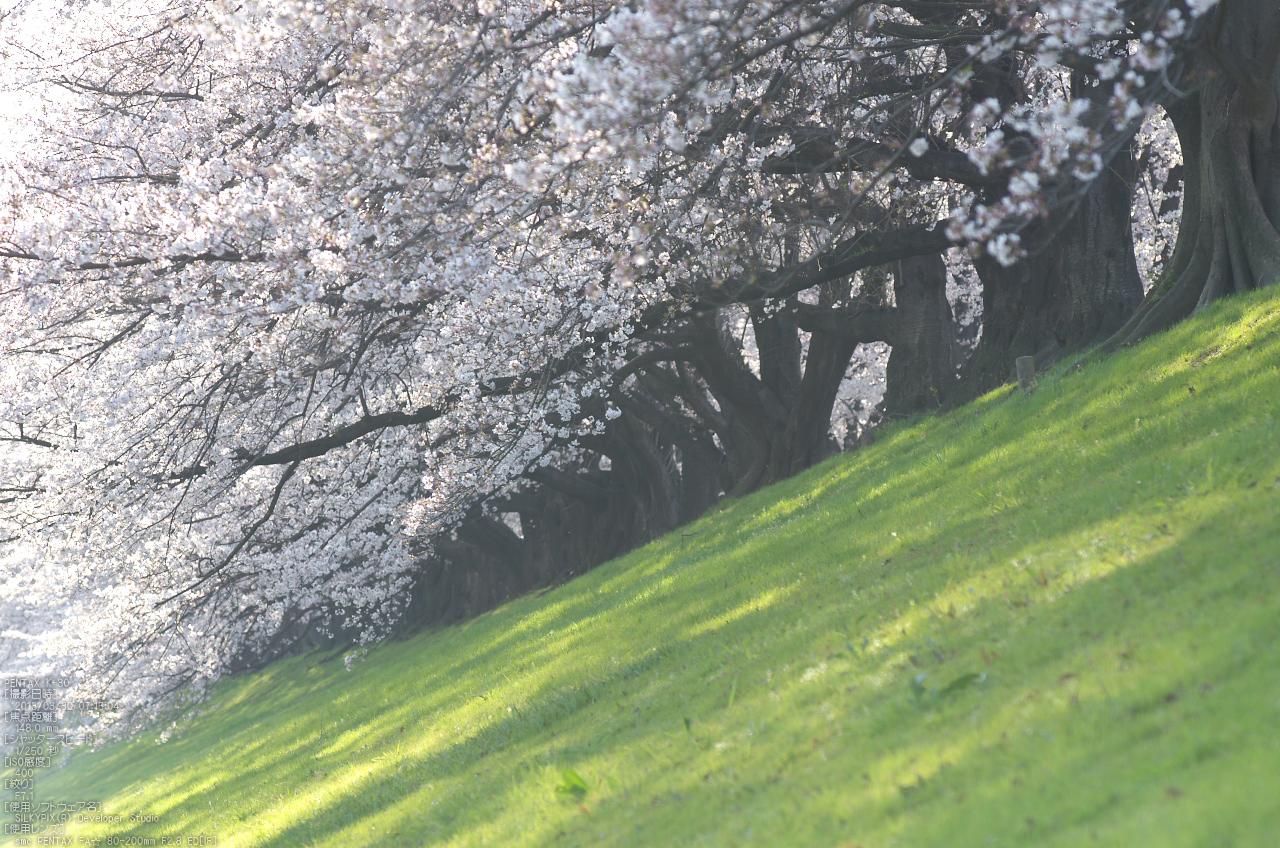 http://www.yaotomi.co.jp/blog/walk/%E8%83%8C%E5%89%B2%E5%A0%A4_%E6%A1%9C_2013yaotomi_68s.jpg